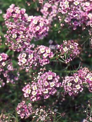 Alyssum, also known as Lobularia maritima