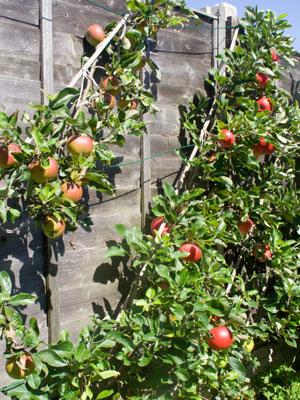 Apple cordon grow guide - Fir tree planting instructions a vigorous garden ...