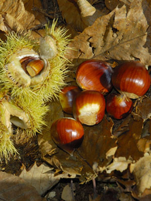 how to tell if chestnuts are bad