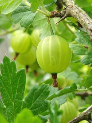 Gooseberry Grow Guide