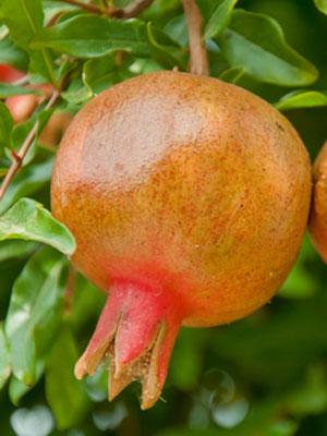 GrowVeg.com - Plant Information GrowGuide for Pomegranate